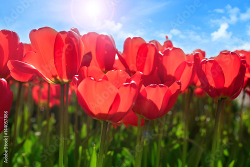 Fototapeta Red tulips in spring sun