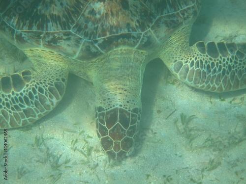 tartaruga acquatica Poster