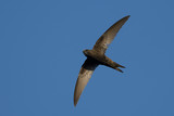 Common Swift in flight over blue sky background - 144102838