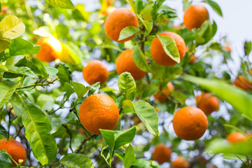 The fruit of the orange tree.