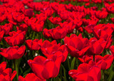 Backlit red tulips