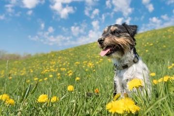 Hund sitzt in blühender Wiese voller Löwenzahn - Jack Russell 2 Jahre alt