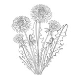 Vector bouquet with outline Dandelion or Taraxacum flower, bud and leaves isolated on white. Ornate floral elements for spring design, coloring book and herbal medicine illustration in contour style.