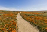 Poppy path wildflower meadow in Southern California.