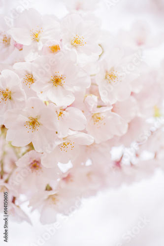 Poster 桜