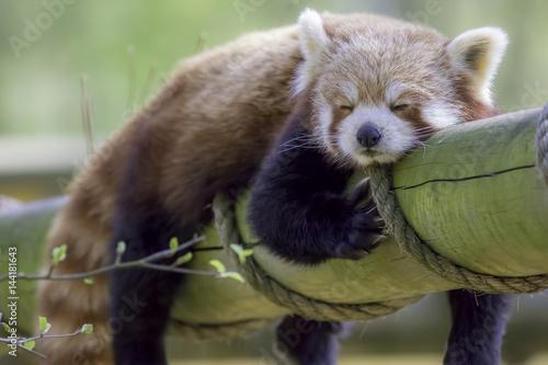 Fotobehang Panda Red Panda Sleeping. Cute animal taking an afternoon nap.