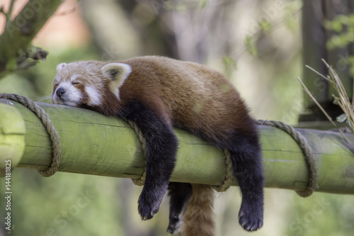 Plexiglas Panda Sleeping Red Panda. Funny cute animal image.