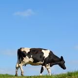 British Friesian cow against blue sky grazing on a farmland in East Devon, England - 144187277
