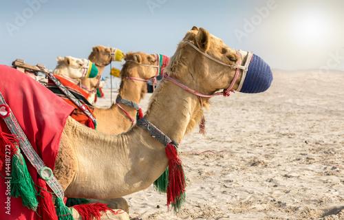 Kamele in der Wüste von Katar bei Doha Poster