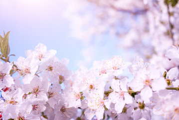 Spring nature background with cherry blossom