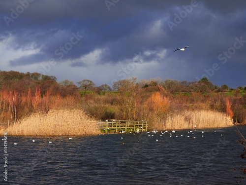 Swans and Gulls feeding at a fresh water lake at a nature reserve, Newcastle, England, UK.