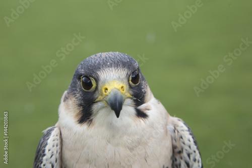 Poster peregrine falcon portrait