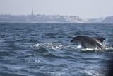dauphins en ballade devant saint malo