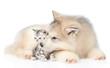Alaskan malamute puppy licks a kitten. isolated on white background