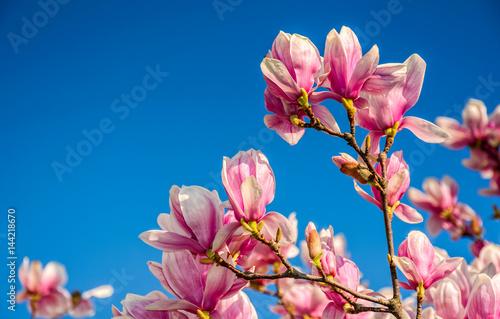 magnolia-flowers-on-a-blue-sky-background