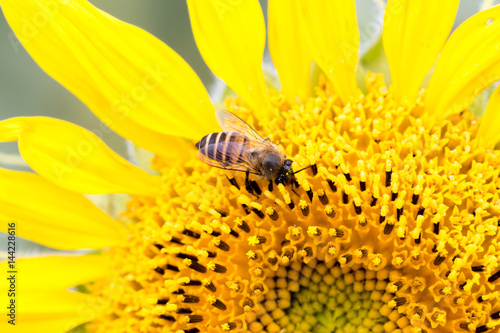 Flying bee with sunflower