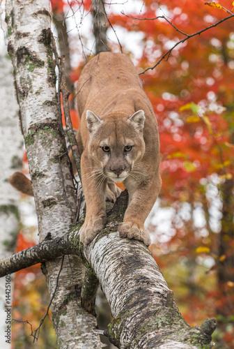 907e12ce69e96 Adult Male Cougar (Puma concolor) Walks Down Birch Branch