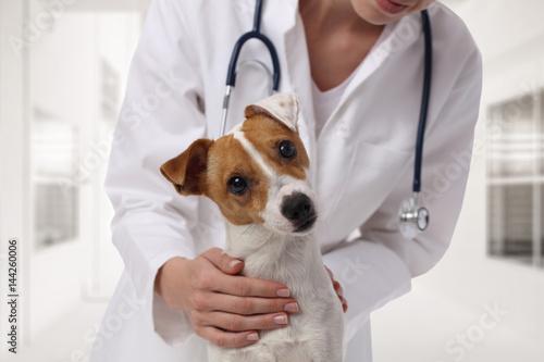 Fototapeta Veterinary care. Vet doctor and dog Jack Russell Terrier