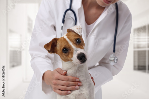 Veterinary care. Vet doctor and dog Jack Russell Terrier Poster