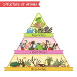 Fototapety Structure of aroma infographic pyramid.