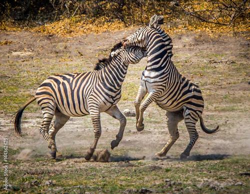 Poster African Zebras #1