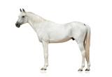 white arabian stallion - 144365822