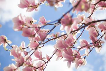 Kwitnące kwiaty Magnolii - wiosna