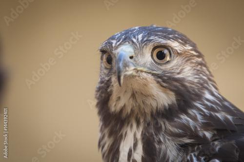 Poster Immature Redtail Hawk