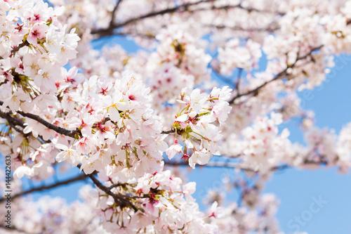 桜の花,春イメージ Poster