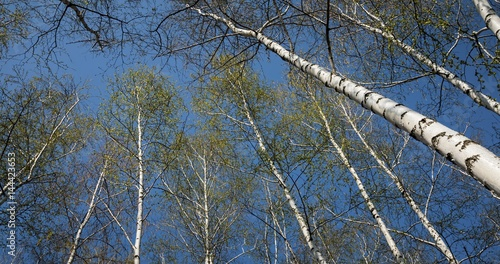 Bottom view of birch forest in sunlight in the spring morning. Scenic view.