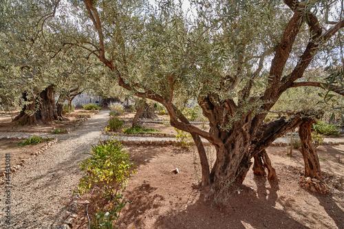 Tuinposter Olijfboom Gethsemane olive garden, Jerusalem
