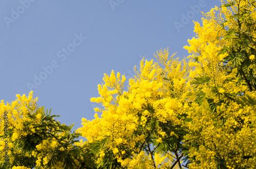 Poster Mimosa