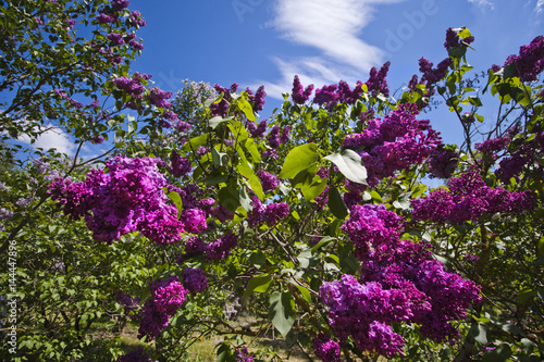 Foto op Canvas Lilac Lilac bush on a cloudy blue sky background
