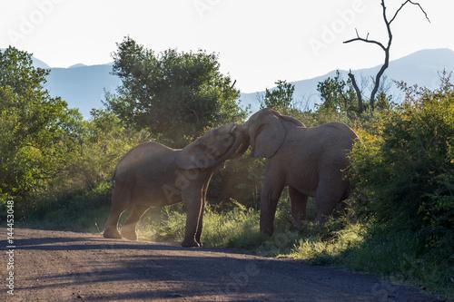 Poster African bush elephant (Loxodonta africana)