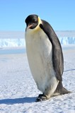 Emperor Penguin in Antarctica on a background of snow. Close-up.