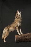 wycie wilk jako studio strzału