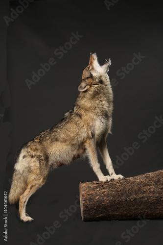 heulender Wolf als Studioaufnahme Poster