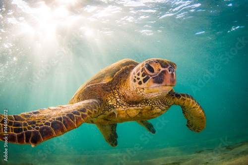 Pinturas sobre lienzo Endangered Hawaiian Green Sea Turtle Cruising in the warm waters of the Pacific