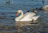 big Mute swan