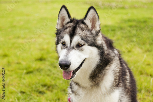 Poster Alaskan Malamute Female Dog Outdoors Portrait