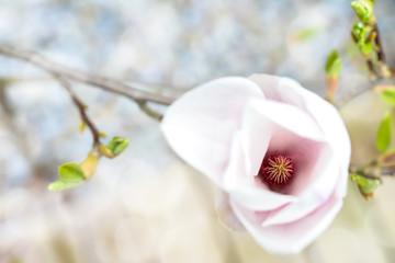 Magnolie - Tulpenmagnolie