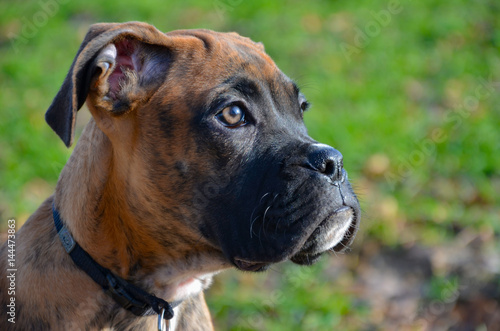 Poster Young Boxer Dog