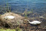 White swans at nest, spring in Sesto Calende Italy