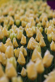 Field filled with yellow tulips