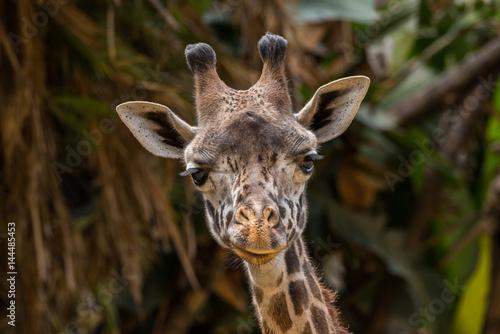 Giraffe selfie Poster
