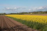 rapeseed oil fields between the moraine hills of Buja. Friuli