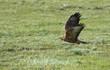 Common buzzard (Buteo buteo) in flight over field, Kalmykia, Russia
