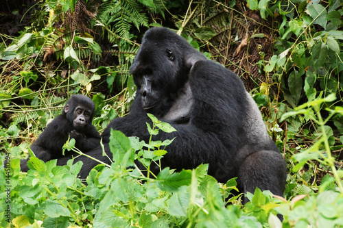 Poster Silverback with a young gorilla in a rainforest