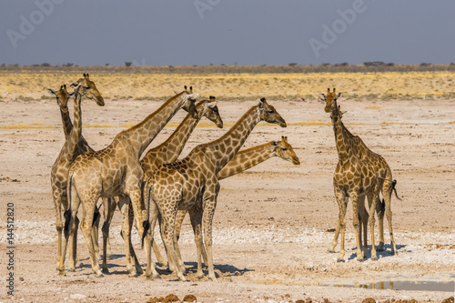 Poster A group of giraffes standing at waterhole in Etosha national park, Namibia