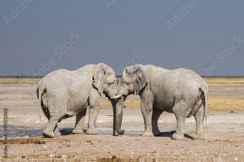 Poster 2 african elephants covered in white mud at Nebrownii waterhole in Etosha nation